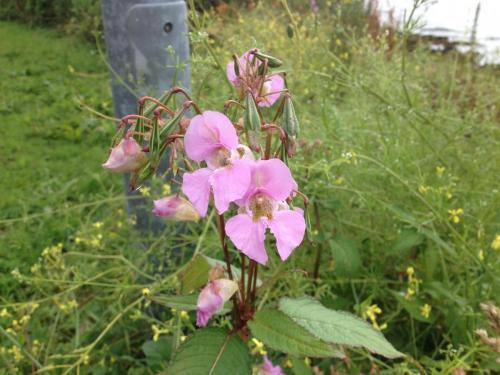 Cove Wild Orchid